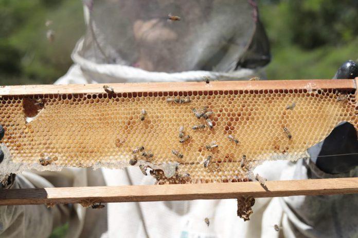 Fazenda Ibiaci tem sua primeira coleta de mel