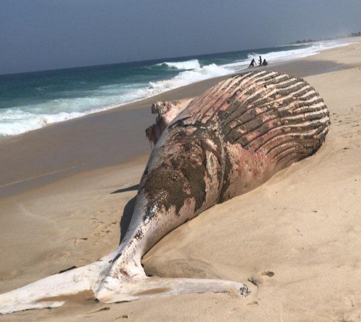 Baleia jubarte é encontrada morta em praia de Maricá