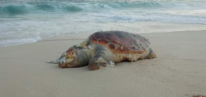 Tartaruga é encontrada morta em praia de Maricá