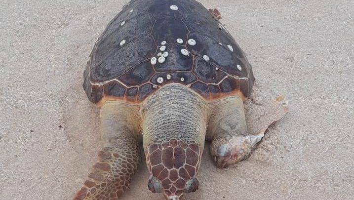 Tartaruga é encontrada morta na praia de Itaipuacu em Maricá