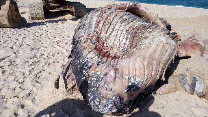 Filhote de baleia jubarte é retirado da praia de Itaipuaçu morto