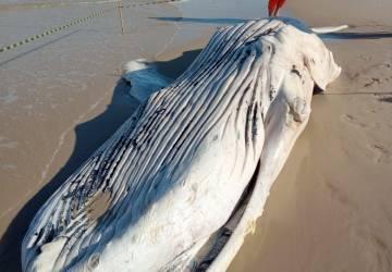 Maricá: Em 24h mais uma baleia é encontrada morta